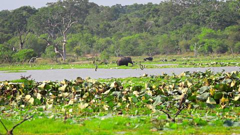 Wild elephants. birds. buffalo in the wild. Sri La Footage