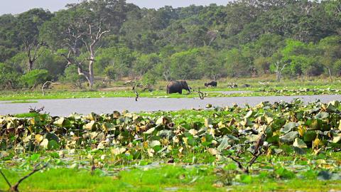 Wild elephants. birds. buffalo in the wild. Sri La Stock Video Footage