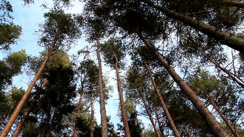 The nice view of the pines and the sky Footage