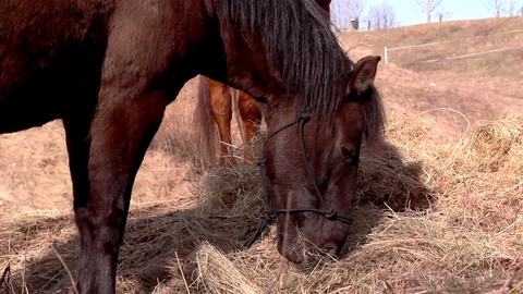 Horses eating and chewing grasses Footage