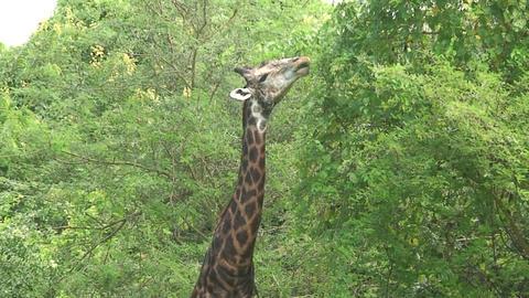 Malawi: giraffe in a wild 10a Stock Video Footage