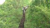 Malawi: Giraffe In A Wild 10a stock footage