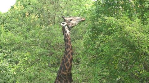 Malawi: giraffe in a wild 10a Footage