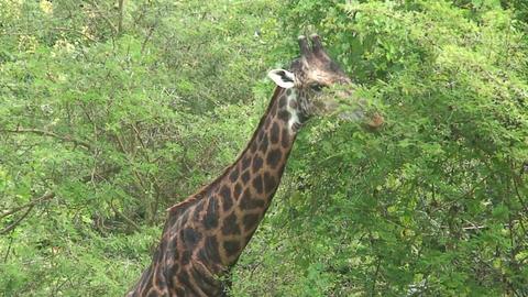 Malawi: giraffe in a wild 12a Footage
