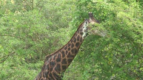 Malawi: giraffe in a wild 12a Stock Video Footage