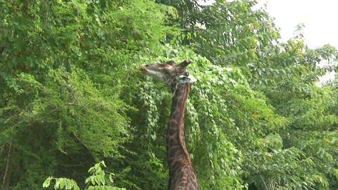 Malawi: giraffe in a wild 14a Stock Video Footage