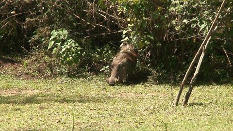 Malawi: wild boar in savanna Live Action