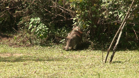 Malawi: wild boar in savanna Stock Video Footage