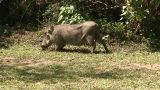 Malawi: Wild Boar In Savanna 3 stock footage