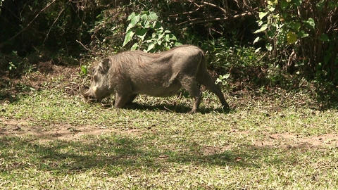 Malawi: wild boar in savanna 3 Live Action