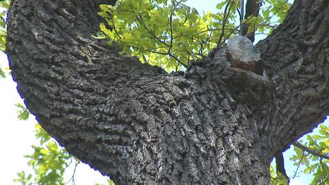 oak 2 Stock Video Footage