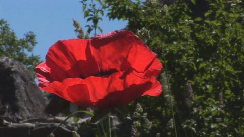 Scarlet Poppy 1 Stock Video Footage