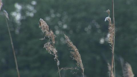 rustling reeds 1 Footage