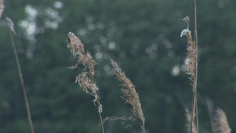 rustling reeds 1 Stock Video Footage