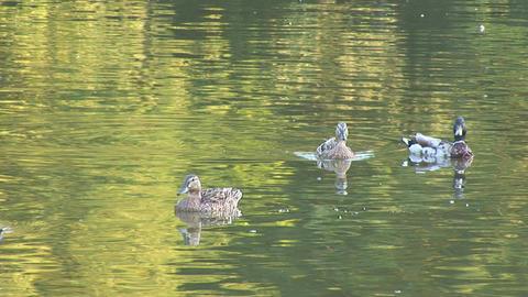 wild duck 1 Stock Video Footage