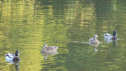 wild duck 1 Footage