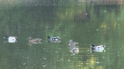 wild duck 3 Stock Video Footage