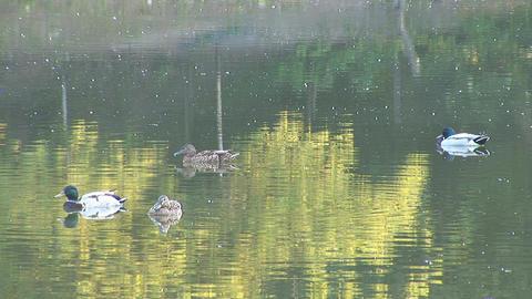 wild duck 5 Footage