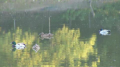wild duck 5 Stock Video Footage