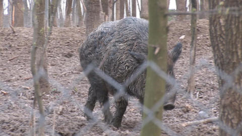 wild pig 2 Stock Video Footage