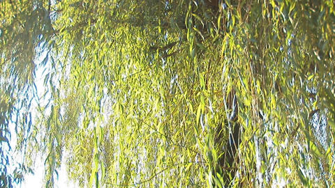 fresh willow 1 Stock Video Footage