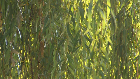 fresh willow 3 Stock Video Footage