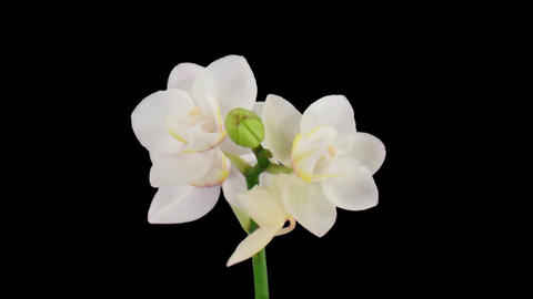 Stereoscopic 3D time-lapse of opening white orchid 1a... Stock Video Footage