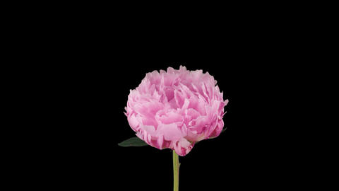 Stereoscopic 3D time-lapse of opening pink peony 1a... Stock Video Footage