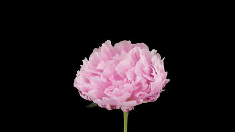 Stereoscopic 3D time-lapse of opening pink peony 1a (right-eye) Footage