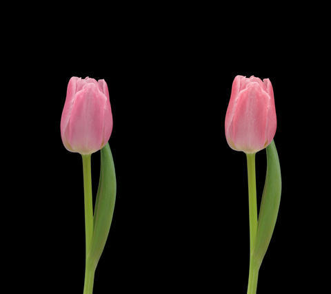 Stereoscopic 3D time-lapse of opening pink tulip 1c (cross-eye) vertical Footage