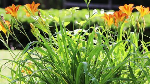 Orange flowers Stock Video Footage