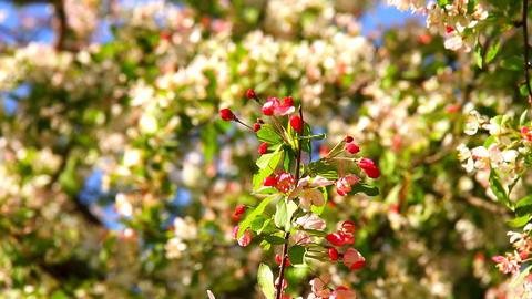Spring Cherry Blossoming Tree 04 Stock Video Footage