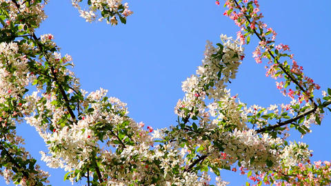 Spring Cherry Blossoming Tree 02 Stock Video Footage
