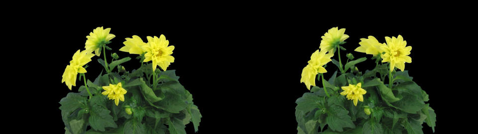 Stereoscopic 3D time-lapse of opening yellow dahlia 1az... Stock Video Footage