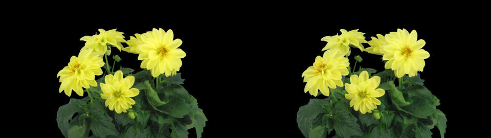 Stereoscopic 3D time-lapse of opening yellow dahlia 1az (cross-eye) Footage