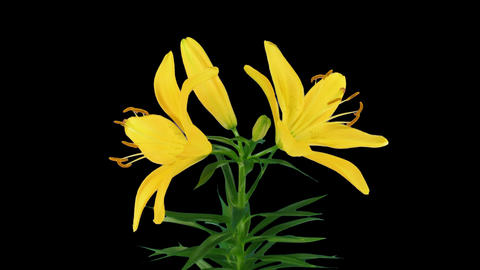 Stereoscopic 3D time-lapse of opening yellow lily (left... Stock Video Footage