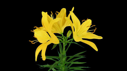 Stereoscopic 3D time-lapse of opening yellow lily (left eye) 1a Footage