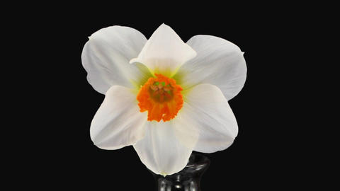 "Stereoscopic 3D time-lapse of opening narcissus ""Barret Browning"" 2a right eye Footage"
