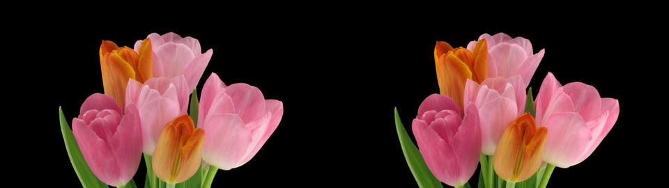 Stereoscopic 3D time-lapse of opening tulip bouquet 1bz-cross-1080p Footage