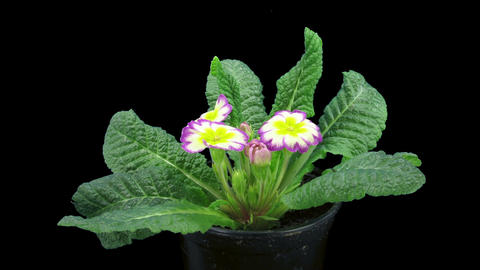 Time-lapse of growing purple-yellow primula flower 1a Stock Video Footage