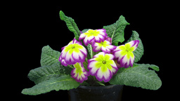 Time-lapse of growing purple-yellow primula flower 1a Footage