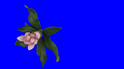 Time-lapse of opening rhododendron 1ck blue chroma key top Footage