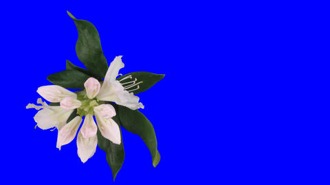 Time-lapse of opening rhododendron 1ck blue chroma key top Stock Video Footage