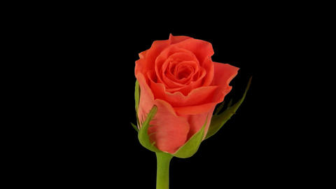 """Time-lapse of opening """"Amsterdam"""" rose 1c Stock Video Footage"""