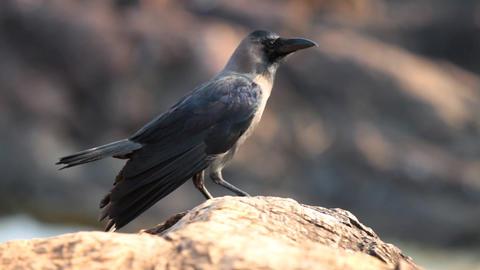Raven Footage