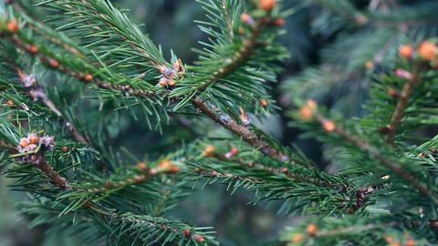 Spruce twig Footage
