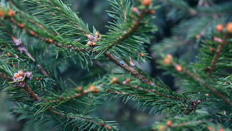Spruce twig Stock Video Footage