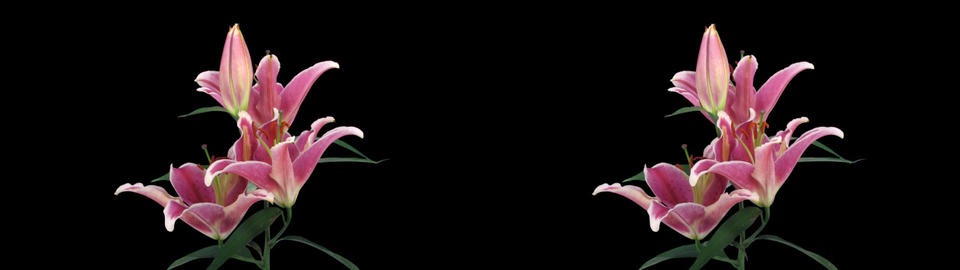 Stereoscopic 3D time-lapse of opening pink lily cross-eye 1a Footage