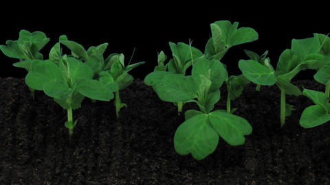 Stereoscopic 3D time-lapse of growing pea vegetables 1a (left-eye) Footage