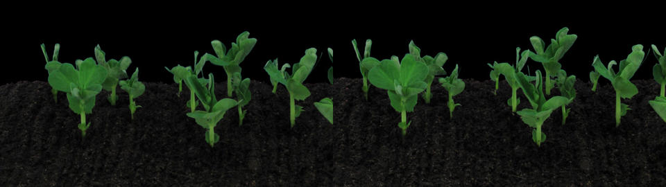 Stereoscopic 3D time-lapse of growing pea vegetables 1az... Stock Video Footage